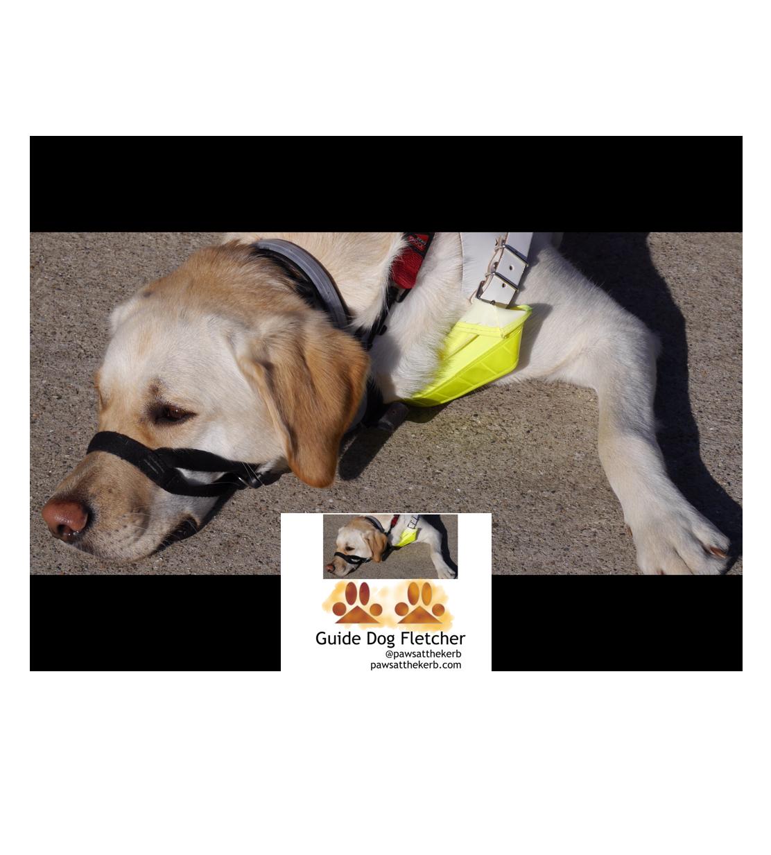 Guide Dog Fletcher a labrador / golden retriever cross