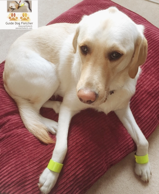 Me guide dog Fletcher with neon paw bands