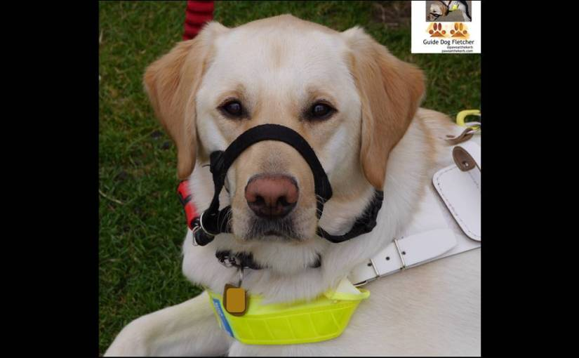 Me guide dog Fletcher in my harness