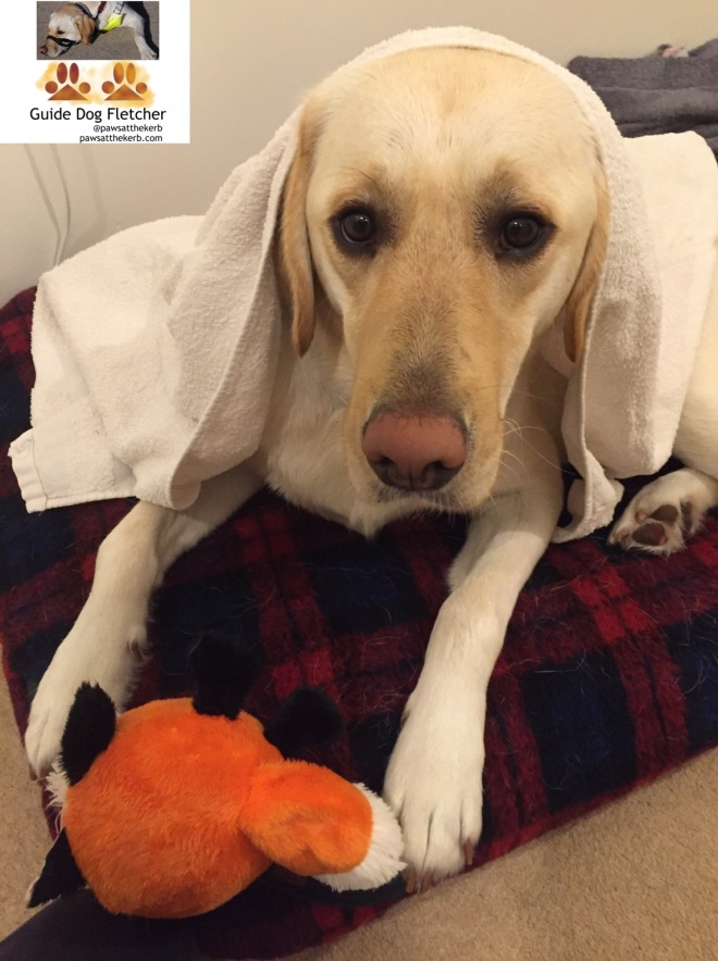 Me guide dog Fletcher under a white towel