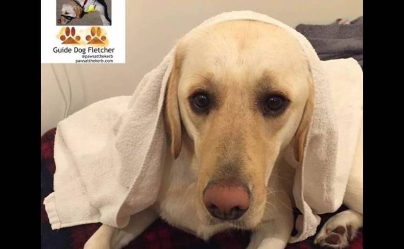Me guide dog Fletcher under a towel