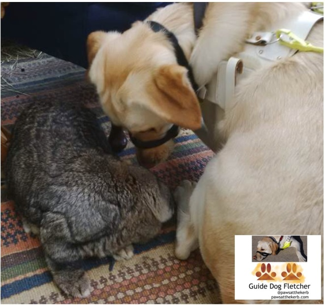 Me guide dog Fletcher visiting bunny Bouffe