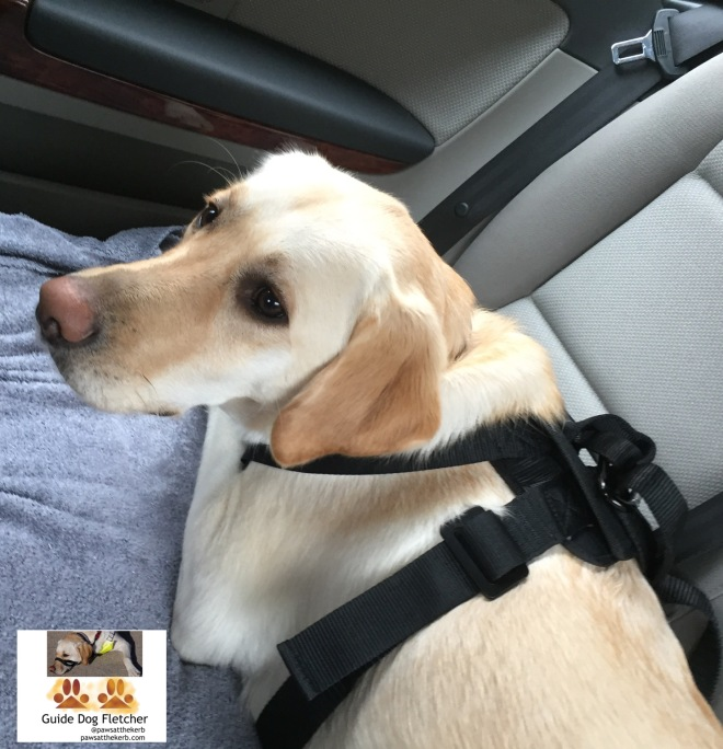 Me guide dog Fletcher on car backseat