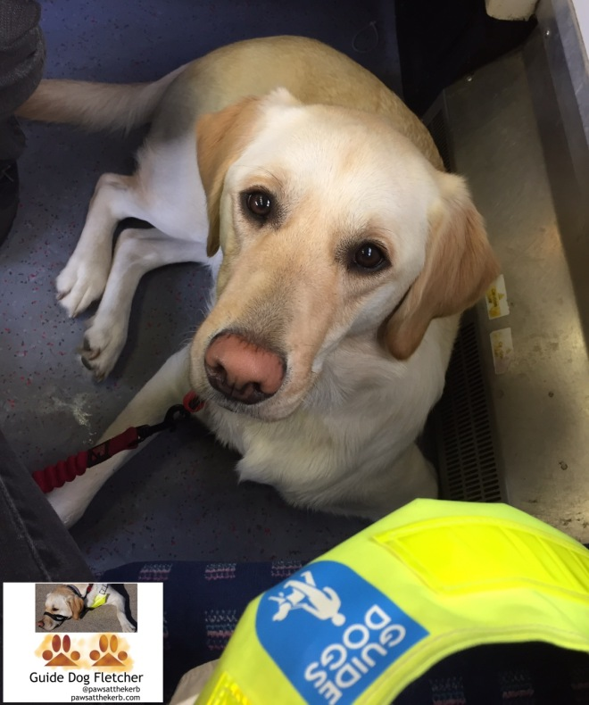 Me guide dog Fletcher on train floor looking up