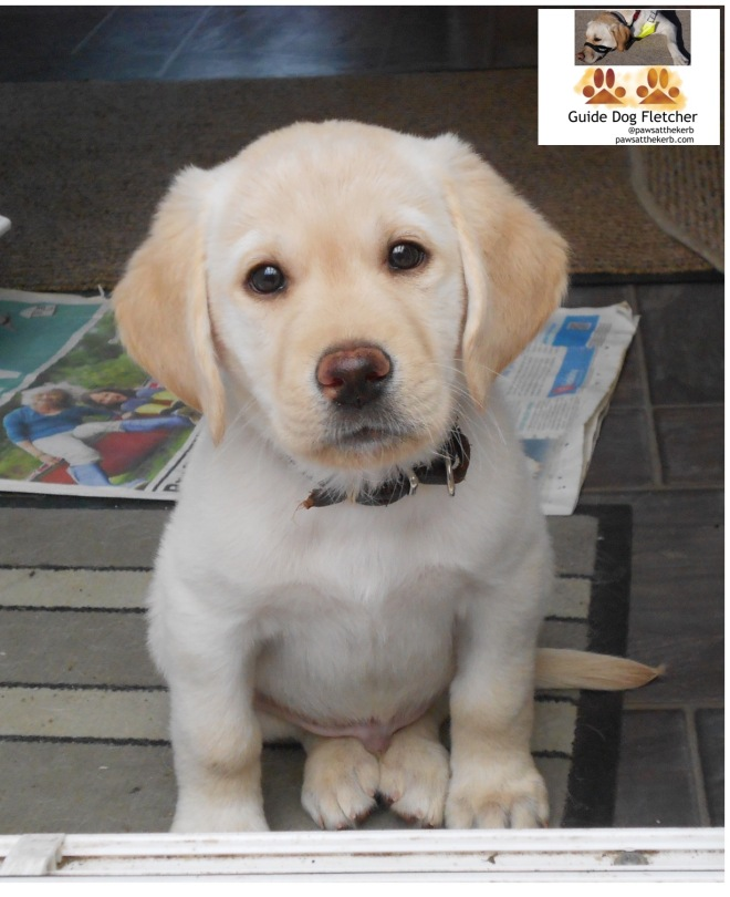 Me guide dog Fletcher as a puppy looking up at camera