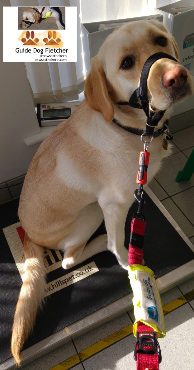 Me guide dog Fletcher sitting on weighing scales