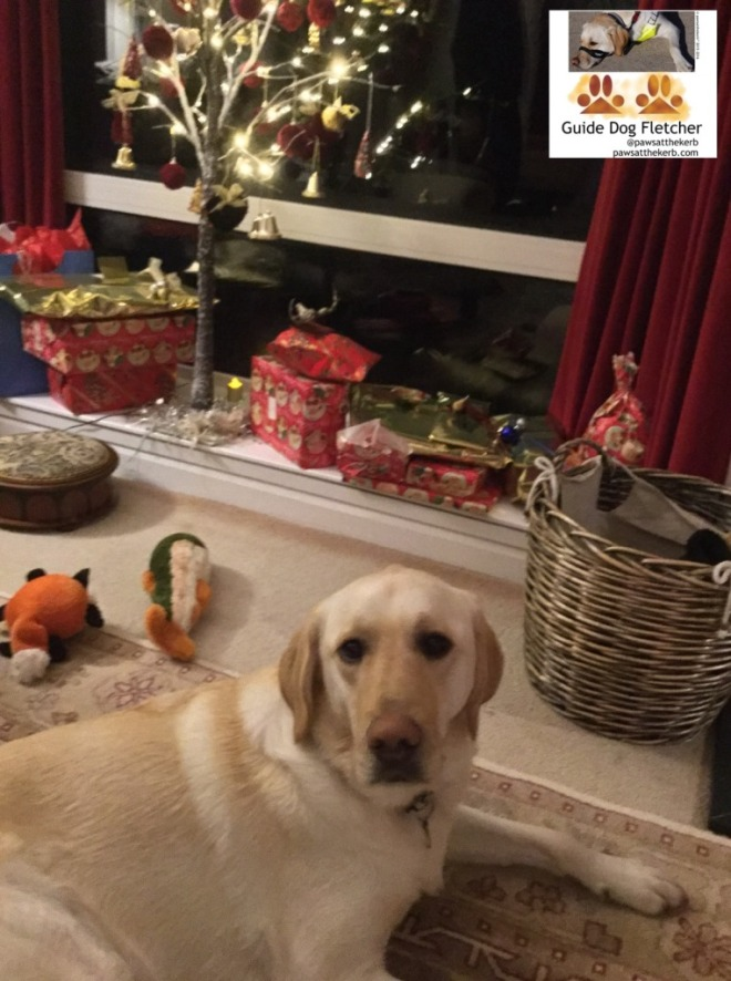Me guide dog Fletcher on Christmas Eve in front of presents