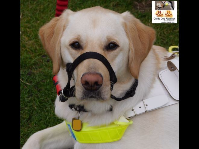 Me guide dog Fletcher in my guide dog harness