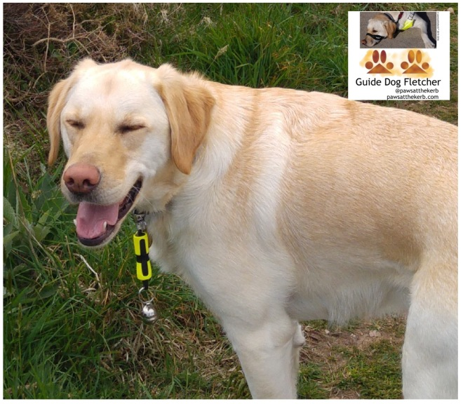 Me guide dog Fletcher laughing at the camera at the thought of being refused access