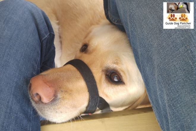Me guide dog Fletcher popping up between the legs of my two humans