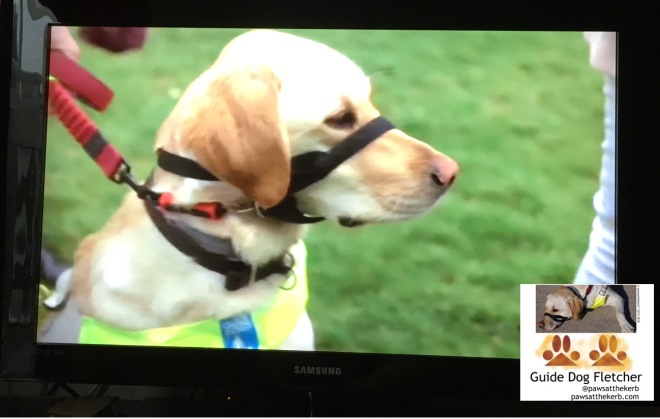 Me guide dog Fletcher looking to the right and seated on TV. Yes TV!