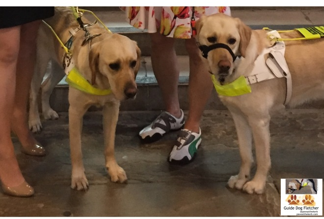 Me guide dog Fletcher on the right with my brother Umber on the left with humans' legs in background