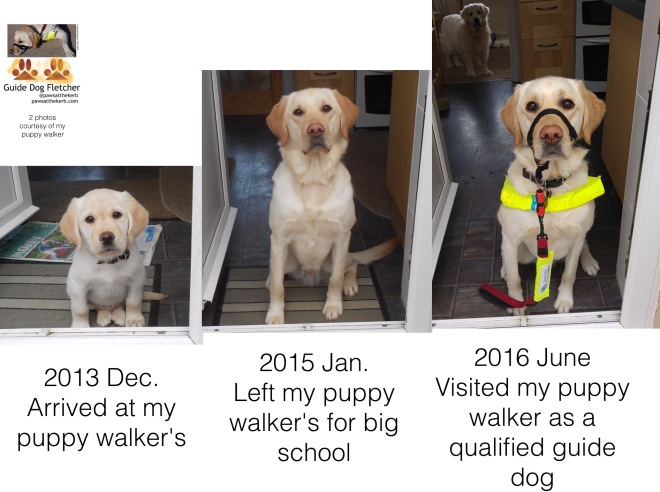 3 photos of me guide dog Fletcher in one. All in the same doorway. As a puppy when I arrived at my puppy walkers in December 2013. As a teenager in January 2015 when I left for big school. In June 2016 as a qualified guide dog with my doggie aunty Kerry in the background