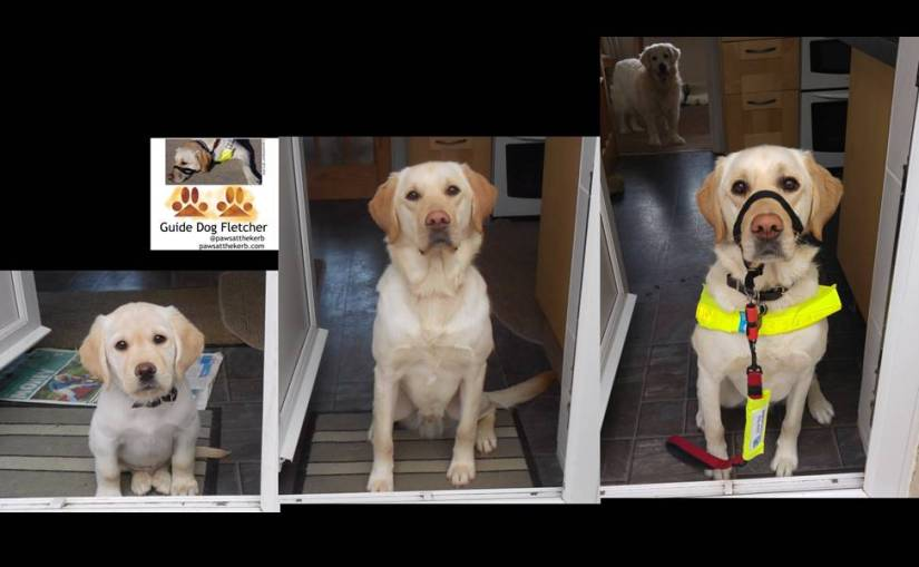 Three photos of me guide dog Fletcher as a puppy, teenager and qualified guide dog in the doorway of my puppy walker's
