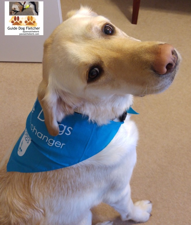 Me guide dog Fletcher head turned to camera wearing blue Guide Dogs life-changerbandana