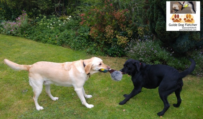 Me guide dog Fletcher playing tug with a duck toy with a smaller black Labrador on the lawn near a boarder of multi-coloured plants. The name of the dog will be revealed in the next blog post.