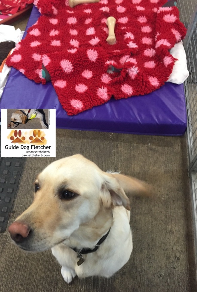 Me guide dog Fletcher sitting down in a dog pen with a purple bed and red blanket behind me. pawsatthekerb