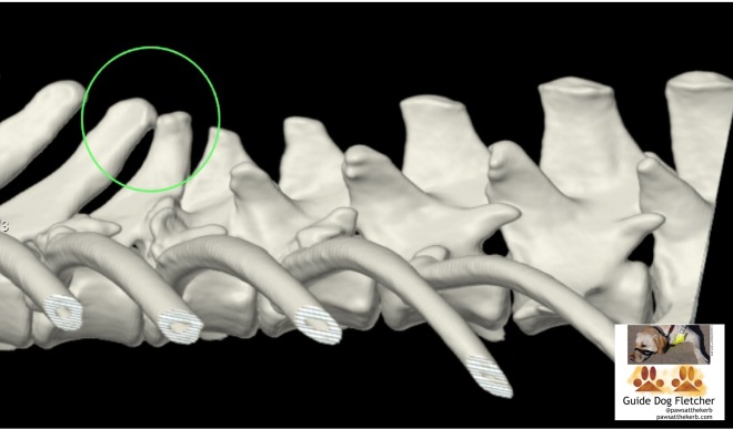 "CT scan of my, that's guide dog Fletcher, spine in glorious 3D. Bone is white, with shades of grey, against a black backgound. On the left, there's a thin green circle around two bony bits which ""kiss"" each other. pawsatthekerb"