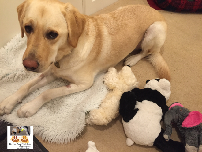 Me guide dog Fletcher when I was last home. I'm lyding down on a piece of vet bed with my cuddly toys next to me. They are a cream teddy bear, black and white panda, and grey elephant with pink ears. pawsatthekerb