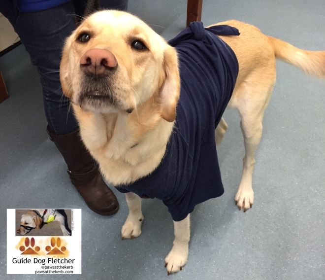 Me guide dog Fletcher rocking my new T-shirt look. I'm standing looking at you with my two front legs and back in a dark blue T-shirt. pawsatthekerb