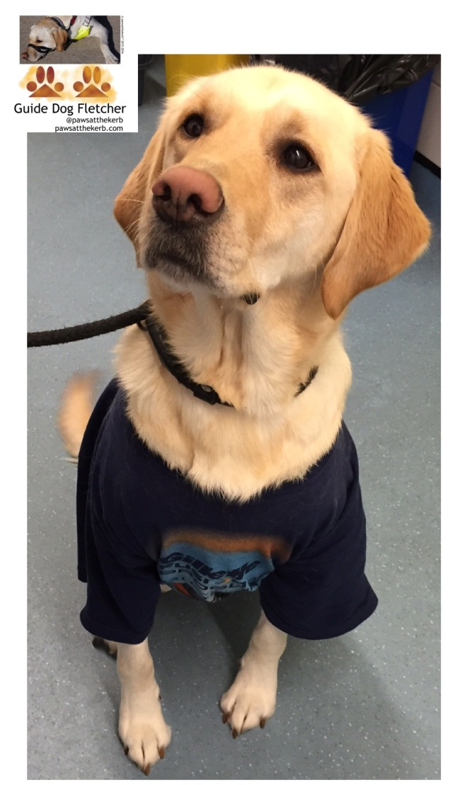 Me guide dog Fletcher sitting down head tilted to your left. I'm still rocking my dark blue T-shirt which contrasts well against my golden fur. pawsatthekerb