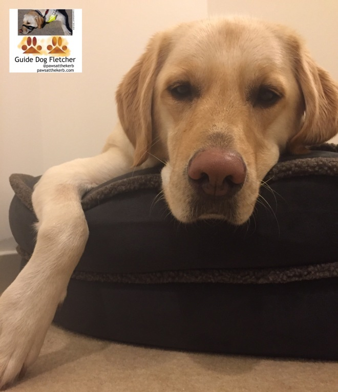 Me guide dog Fletcher looking at you. My head and right leg are visible only. My head is resting on the brown bolster of my bed and I'm looking serious. @pawsatthekerb