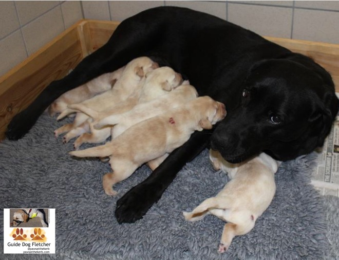 Me guide dog Fletcher as a puppy with my brothers, sister and mum. All bar one of us are tucking into mum's milk. We're golden in colour. Mum is a black lab. @pawsatthekerb