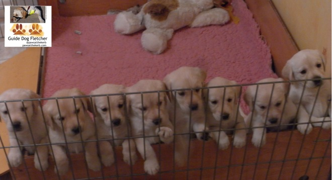 Me guide dog Fletcher when I was a puppy. All eight of my golden siblings are lined up facing the camera leaning on the side of a box with a cuddly toy in the background. @pawsatthekerb