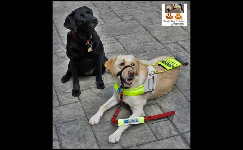 Me guide dog Fletcher lying down in my guide dog harness with my mum to the left of the photo. my mum is sitting and she's a black labrador. we're both looking slightly to the right. I'm smiling. Proud moment. @pawsatthekerb