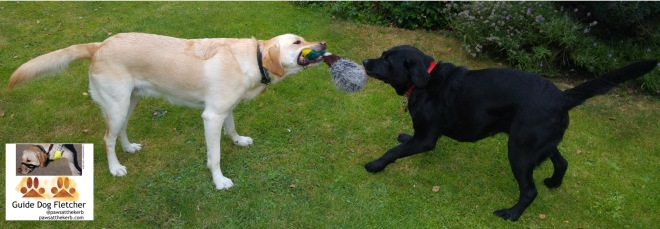 Me guide dog Fletcher an amongst three year old golden retriever labrador cross playing tug with my mum a black labrador. I'm on the left with my mum on the right witha duck cuddly toy being torn apart between us. @pawsatthekerb