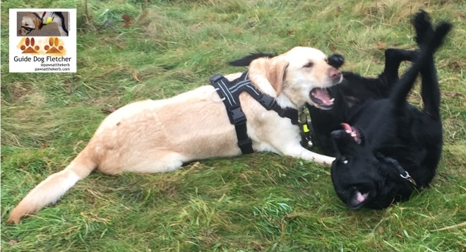 Me guide dog Fletcher lying down in the park. I'm wearing my Perfect Fit harness. My mouth is open. I'm on the left and have gold fur. my friend Isaac is to my right and he's upside down on this back. (c)pawsatthekerb