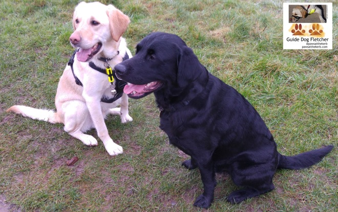 Me guide dog Fletcher. A handsome Golden Retriever Labrador cross with golden fur. Sitting with my friend Isaac. He's on the right and has black fur. (c) pawsatthekerb