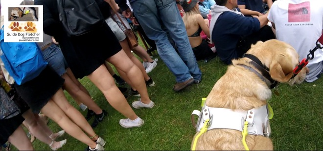 Me guide dog Fletcher. Just the back of my head and shoulders. I'm guiding my human to the right as there's a group of people in front of us sat on the grass. To the left of me are more people. These people are dressed in shorts, trainers and t-shirts. @pawsatthekerb
