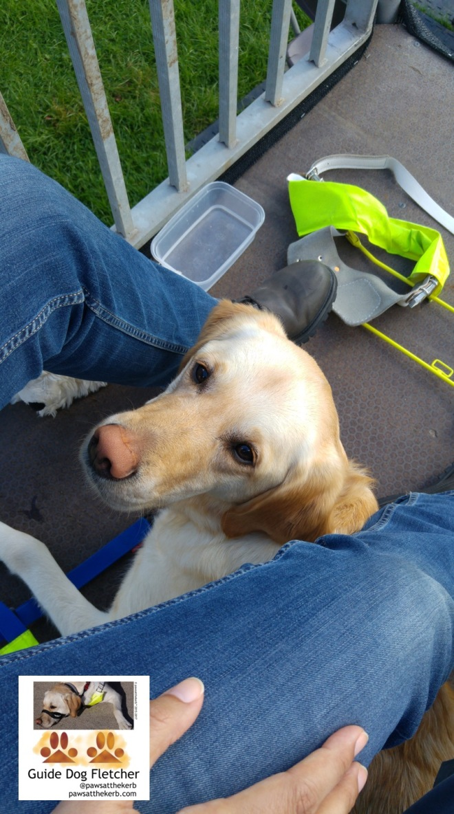 Me guide dog Fletcher a golden fur Labradaor Golden Retriever cross. Well my head looking up to camera. You can just make out my body between the jean covered legs of my human. I'm on a viewing paltform and in the background is a water box and my Guide Dog harness. @pawsatthekerb