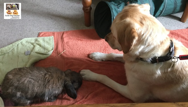 Me guide dog Fletcher lying down very still with my golden head alert and upright. My friend bunny Albert is checking out my left paw. I've golden fur. Albert's fur is patchy dark brown. @pawsatthekerb