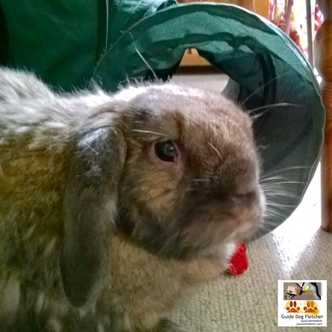 My friend bunny Albert. His fur is mostly brown and heis ears are darker, almost black with lighter patches. His face is in the center with his droopy ears. Behind him is a dark green circular opening to a bunny run. There's a bit of red strawberry on the grey carpet. @pawsatthekerb