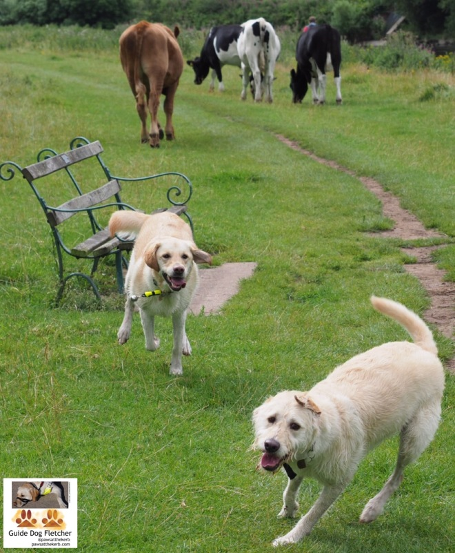 Me guide dog Fletcher a labrador golden retriever cross, with golden fur, having fun in a country park with fellow guide dog Bertie a golden labradoodle. We're similar sizes and ages. We're running on the lush green grass. In the background is a bench and three cows. @pawsatthekerb