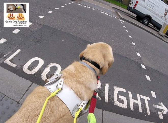 Me guide dog Fletcher paws at the kerb. Yes. My paws are at the kerb even though you can't see them. My golden furred head is in the way. You can seen the back of my shoulders too. I'm standing in front of the road which has