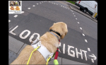 "Me guide dog Fletcher. Well the back of me this time as I'm standing paws at the kerb in my white guide dog harness with yellow handle. You can see some of the road in front and it says look right. Oh the ""k"" and the ""r"" are obscured by me. There's a white van on the other side of the road to the right.(c) pawsatthekerb"