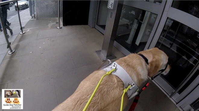 Me guide dog Fletcher in my white Guide Dogs' harness with yellow handle. I'm standing in front of a grey office door showing my human where it is. @pawsatthekerb