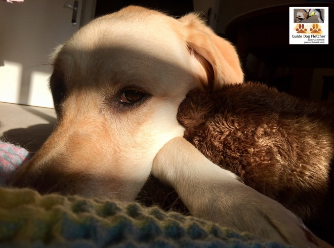 Me guide dog Fletcher looking at you from the corner of my brown eyes. You can see my golden head and front paw in the sunlight. I'm lying down on a blanket with my cuddly brown toy next to me. @pawsatthekerb