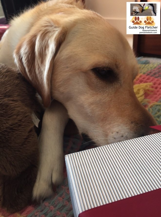 Me guide dog Fletcher, well my golden head and paw, investigating a stripy box with a red ribbon. You can just see part of the box in the bottom right corner of the photo. I'm lying on a patchwork blanket of many colours. @pawsatthekerb