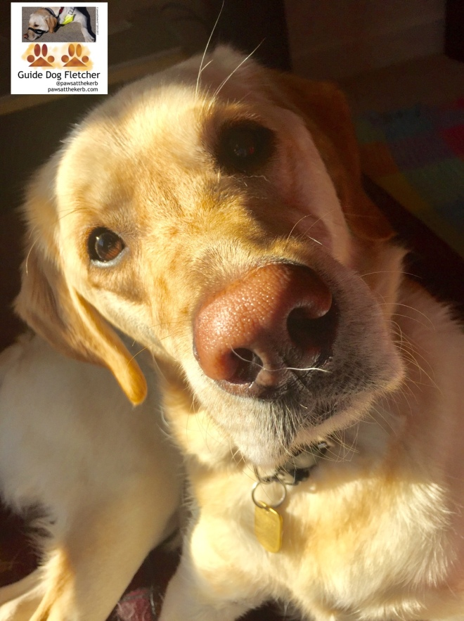 Me guide dog Fletcher with my pink nose looking very yellow in the sunshine indoors. I'm looking up at you with a confused look. My face muscles are showing and my eyebrows are raised. @pawsatthekerb