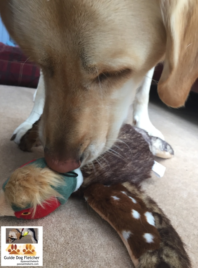 Me guide dog Fletcher standing indoors over my new cuddly toy. It's a pheasant with brown wings and white spots, green, red and brown head. I've my mouth on the top of the head. You're zoomed in. So you get a bit of my face and front paws plus the toy. @pawsatthekerb