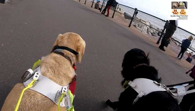 Me guide dog Fletcher alongside fellow guide dog Pete. You can see the backs of our heads. We're in guiding mode. I've golden fur. Pete has black. We're walking on the pavement alongside the seafront. @pawsatthekerb