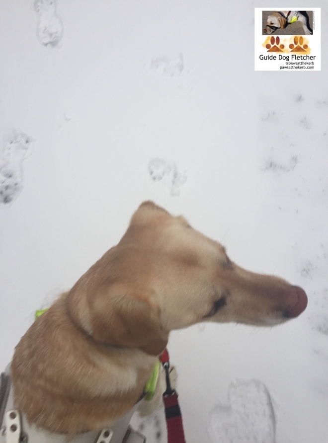 Me guide dog Fletcher from above. I'm in my guide dog harness and have a red lead. All around me is snow. You can just make out some paw prints of mine. @pawsatthekerb