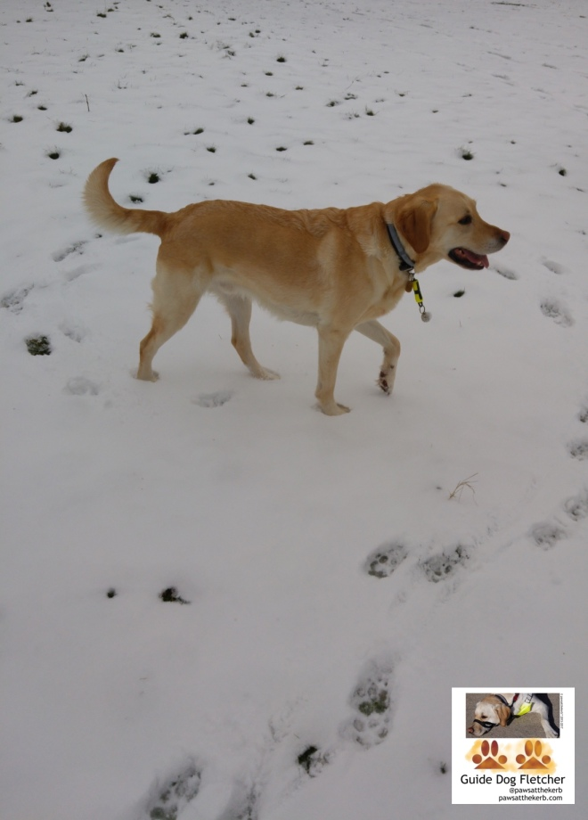 Me guide dog Fletcher having some down time in the park. All around me is snow. You're looking at me side on. My tail is up and I'm making a circle of paw prints in the snow. My golden fur contrasts well against the snow. @pawsatthekerb