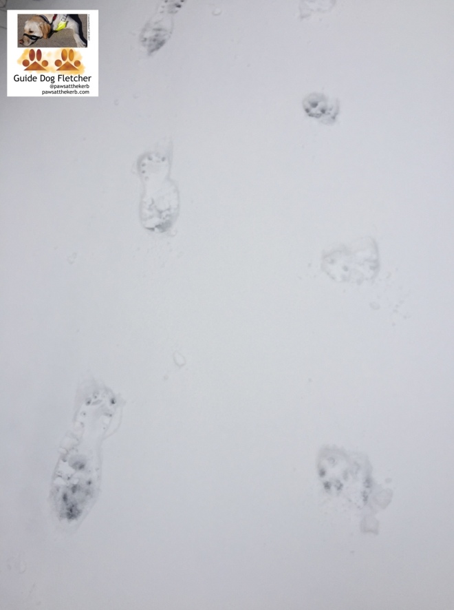 Paw prints from me guide dog Fletcher in the snow. You've got my human's paw prints too. @pawsatthekerb