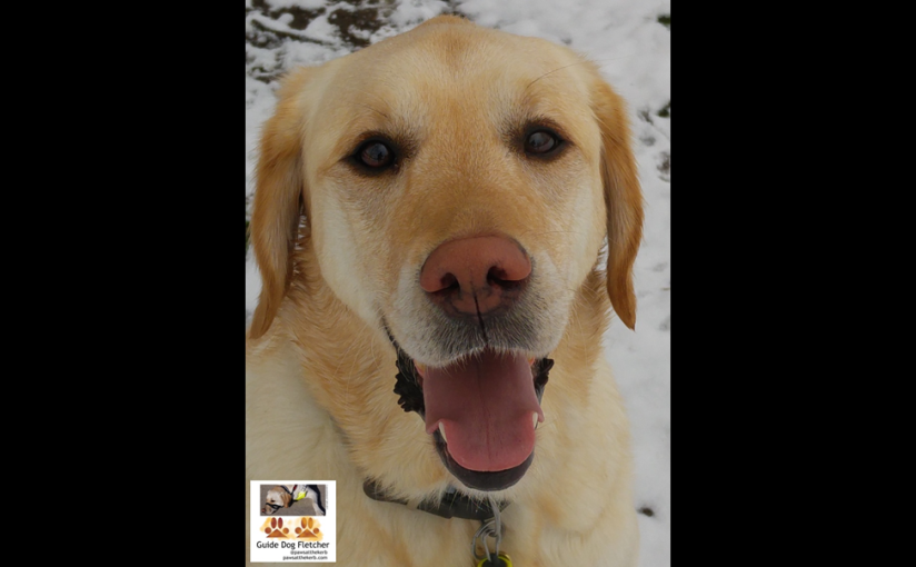 Me guide dog Fletcher smiling at you. My nose is pink and my tongue is the same shade of pink. I'm sitting and you're zoomed in on my head. In the background is snow. I'm a Labrador Golden Retriever cross by the way. @pawsatthekerb
