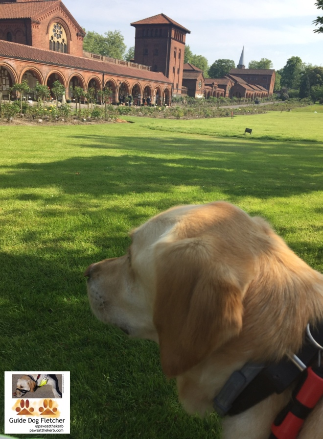 Me guide dog Fletcher in guiding mode. You just see my golden head. I'm looking to the side and in the background is bright green grass. In the distance is the brick building that is Golders Green Crematorium. It is a long building with arches and a central tower. @pawsatthekerb
